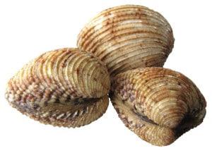 praires coquillage cuisson recette farcies Venus verrucosa Warty venus Rauhe Venusmuscheln Escupina grabada
