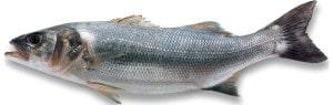 bar commun loup de mer Dicentrarchus labrax seabass Meebarsch lubina poisson fish