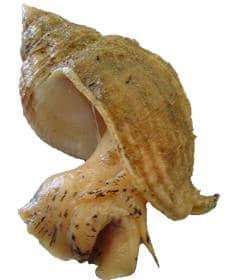 bulots buccins cuisson Buccinum undatum welk Wellhormschnecke boccina