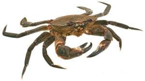 étrille cuisson recette Necora puber Velvet swiming crab Scwimmkrabe Nécora
