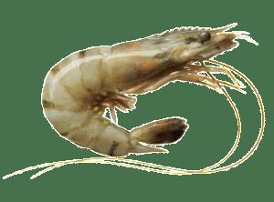 gambas crevette royale cuisson recette Penaeus japonicus Kuruma shrimp Radgarnele Camaron kuruma