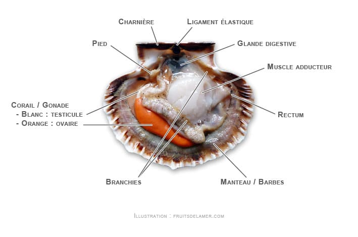 anatomie coquille saint jacques