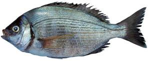 dorade grise griset Spondyliosoma cantharus black bream Sreifenbrassen chopa poisson fish