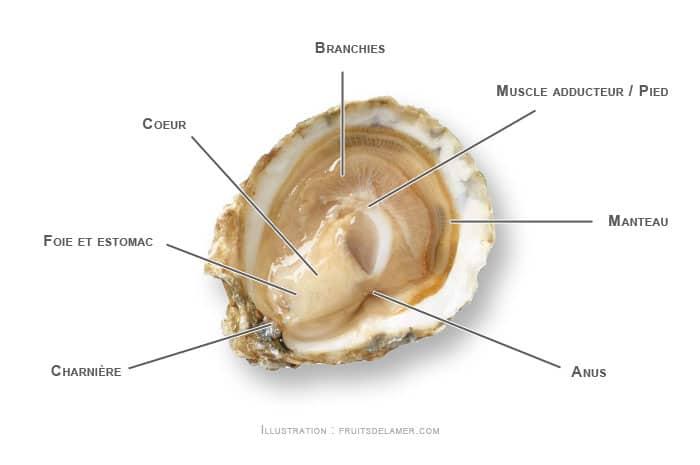 anatomie huître plate sauvage