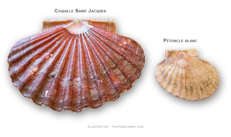coquille saint jacques st petoncle Aequipecten opercularis queen scallop Gedeckelte Kammuschel volandeira