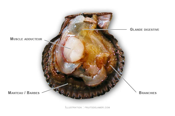 pétoncle noir anatomie Mimachlamys varia Variegated scallop Bunte Kammmuschel Zambiruina