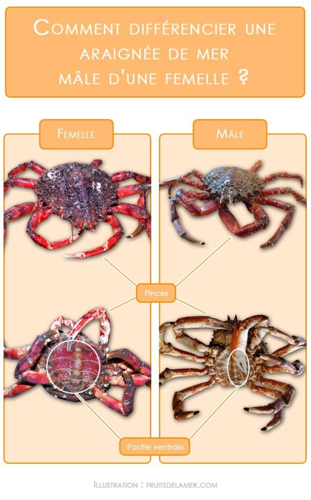araignée de mer différence sexuelle mâle femelle