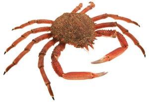araignée de mer cuisson recette