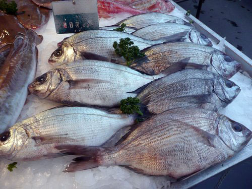 Dorade Royale daurade Sparus aurata gilthead seabream Goldbrasse dorada poisson fish