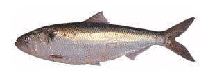 alose cuisson recette grill alosa allis shad maifisch sabalo poisson fish