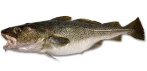 cabillaud morue fraîche cuisson recette Gadus morhua Cod Atlantischer Kabeljau Bacalao poisson fish