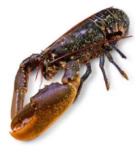 homard cuisson recette Homarus gammarus European lobster Hummer Bogavante