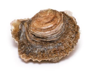 huître plate Cancale Ostrea Edulis European oyster Auster Ostra