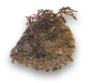 huitre plate sauvage rade de brest Ostrea Edulis European oyster Auster Ostra