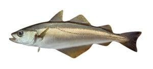 Lieu jaune Pollachius pollachius pollack abadejo poisson fish cuisson recette