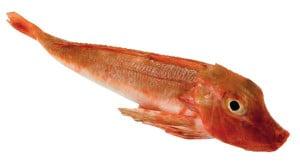 grondin rouge tombe Chelidonichthyd cuculus Gurnard Knurrhahnn Arete poisson fish recette recipe