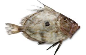 Saint-Pierre recette cuisson Zeus faber Atlantic john dory Petersfisch Pez de San Pedro poisson fish
