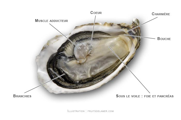 anatomie de l'huître creuse