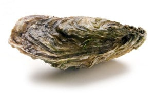 Huître creuse Cassotrea Gigas Japanese oyster Japanishe Auster Ostra Japonesa