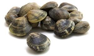 Palourdegrise commune Ruditapes decussatus Shell carpet Venusmuscheln Almeja fina