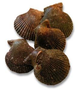 pétoncle noir Mimachlamys varia Variegated scallop Bunte Kammmuschel Zambiruina