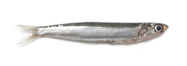 anchois commun européen