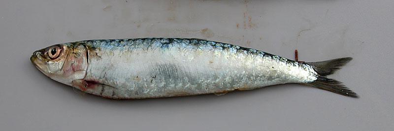 reconnaître sardine fraîche