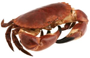 tourteau cuisson recette crabe Cancer pagurus edible crab Taschenkrebs buey de mar