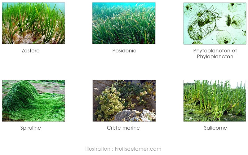 algues spiruline salicorne zostère posidonie plancton phytoplancton phyloplancton criste marine