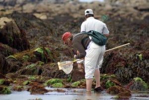 pêche à pied conseils règles loisirs cueillette coquillages crustacés étrilles palourdes