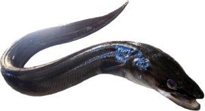 congre conger conger European eel congrio Gemeiner Meeral