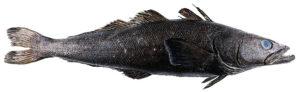 légine australe Dissostichus eleginoides Patagonian toothfish