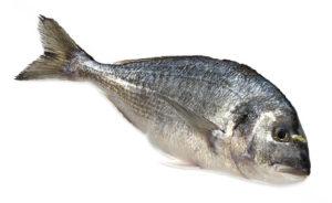 dorade royale daurade Sparus aurata gilthead seabream Goldbrasse dorada poisson fish