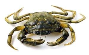 crabe vert enragé